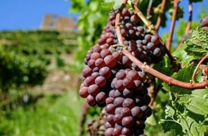 Grapes skin are one the richest sources of natural anti-oxidants